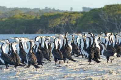 Pied cormorants having a party
