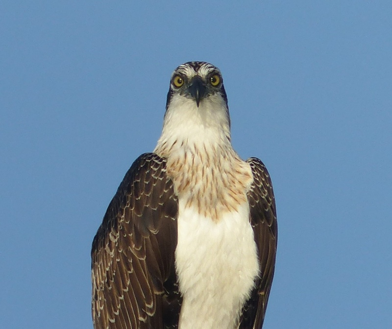 osprey-looking-at-me-crop-square