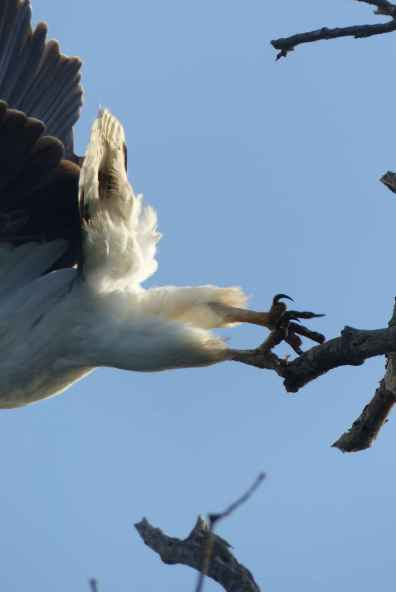 White butted sea eagle in the dawn light