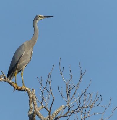 Contractual obligation white faced heron